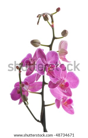 branch of orchid flower (phalaenopsis) on white background