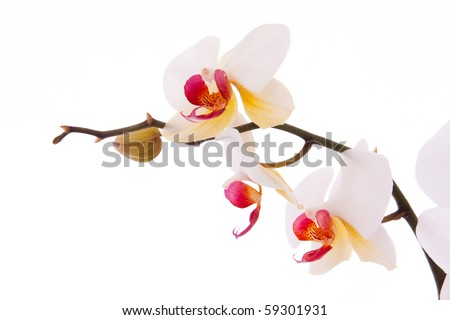 Branch of orchid flowers and buds. - stock photo