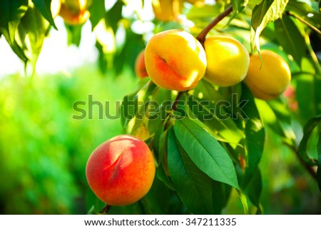 Branch of peach tree close up - stock photo