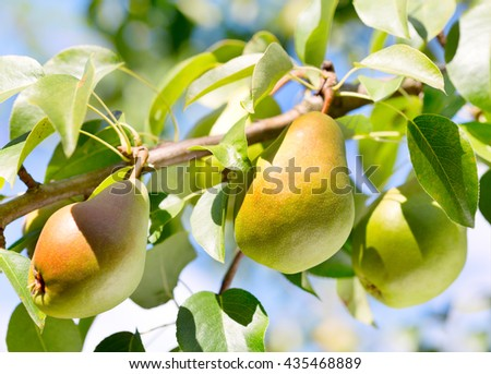 Branch of pears on a tree