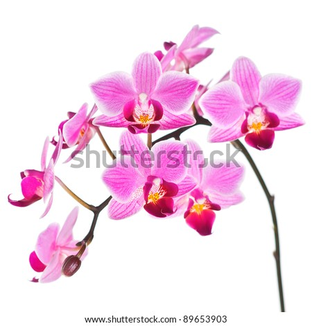 Branch of Phalaenopsis orchid isolated on white