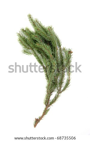 Branch of Picea mariana. True real colors. - stock photo