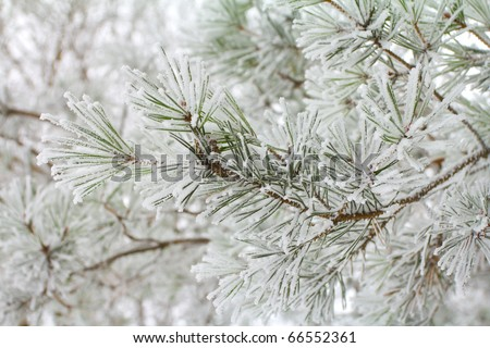 branch of pine, covered with hoar-frost - stock photo