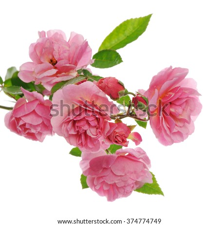 branch of pink climbing rose - stock photo