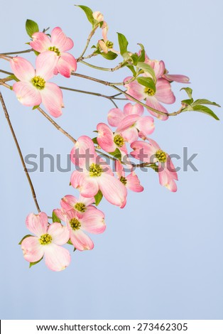 Branch of pink flowering dogwood tree on light blue background.