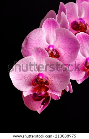 branch of pink orchid flowers on black background - stock photo
