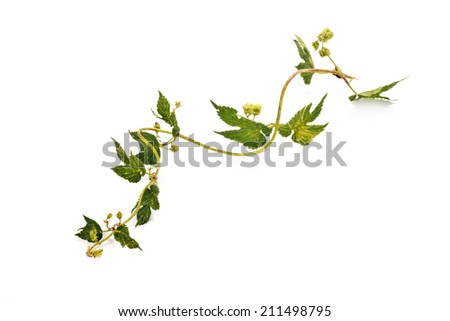 Branch of plant a Hop or Humulusis isolated on a white background