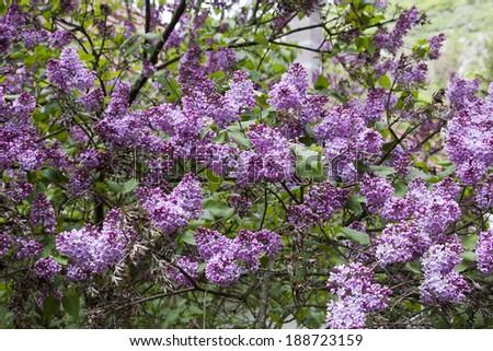 Branch of purple lilac flowers (Syringa vulgaris) - stock photo