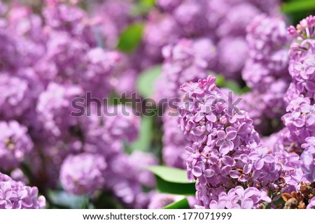 Branch of purple lilac flowers (Syringa vulgaris) with the leaves in spring - stock photo