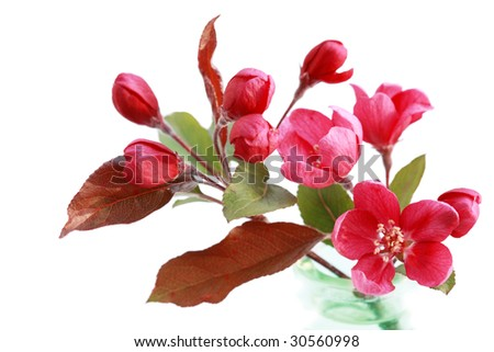 Branch of red cherry flower isolated on white - stock photo