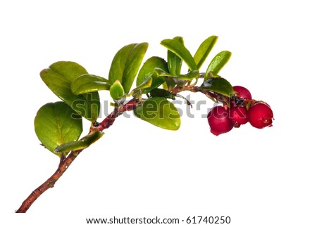 branch of red cow-berries isolated on white background