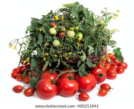 Branch of red ripe and green unripe tomatoes - stock photo