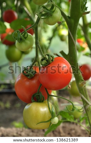 branch of red tomatoes with ripe and unripe vegetables