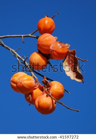 Branch of ripe persimmon - stock photo