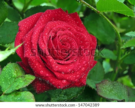 branch of roses and raindrops  - stock photo