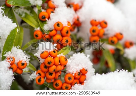 Branch of rowan berries, covered by fresh snow. Winter postcard background.  - stock photo