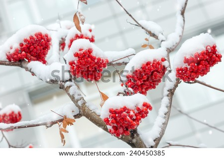 Branch of rowan in the snow - stock photo