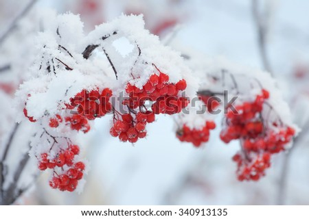 Branch of rowan with red berries covered with hoarfrost - stock photo