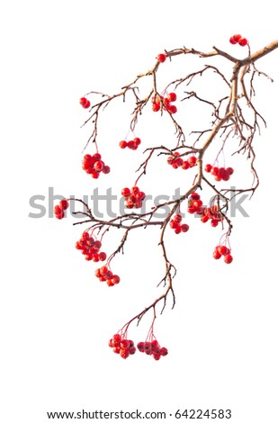 Branch of rowanberry with berry on white background in the style of Chinese painting - stock photo