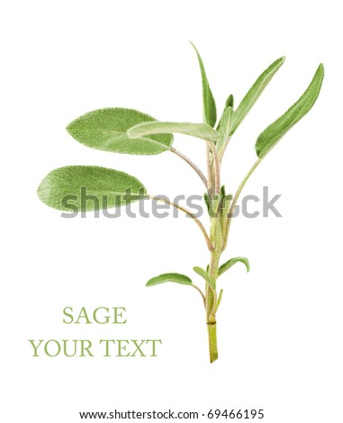 Branch of sage on a white background
