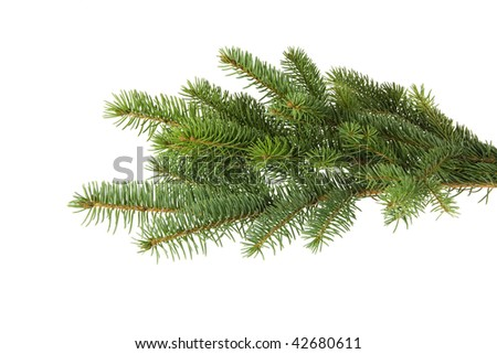 Branch of spruce isolated on white. - stock photo