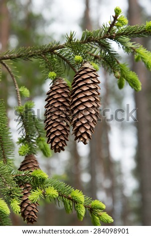 Branch of spruce with cones.
