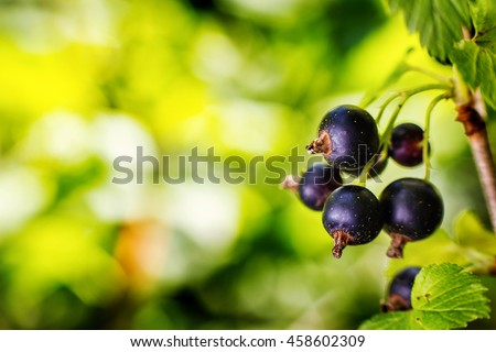 Branch of sweet fresh black currant in the garden. Black currant on the branch. Currant bush. Large crop currant berries, fruits, green leaves - stock photo