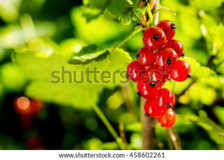 Branch of sweet fresh red currant in the garden. Red currant on the branch. Currant bush. Large crop currant berries; fruits; green leaves - stock photo