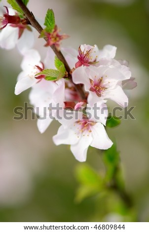Branch of the blossoming cherry tree with selective focus on some flowers - stock photo