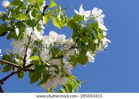 Branch of the blossoming pear tree against the blue sky - stock photo