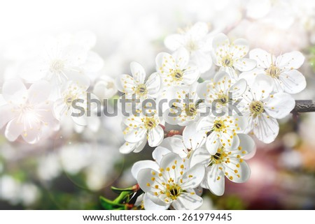 branch of the cherry blossoms - stock photo