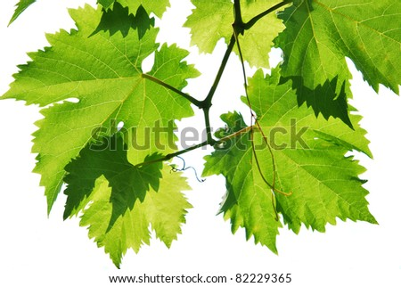 Branch of the vine, backlight, isolated white background - stock photo