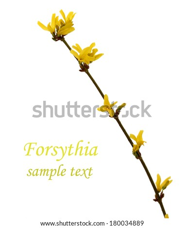 branch of tree forsythia isolated on white  - stock photo