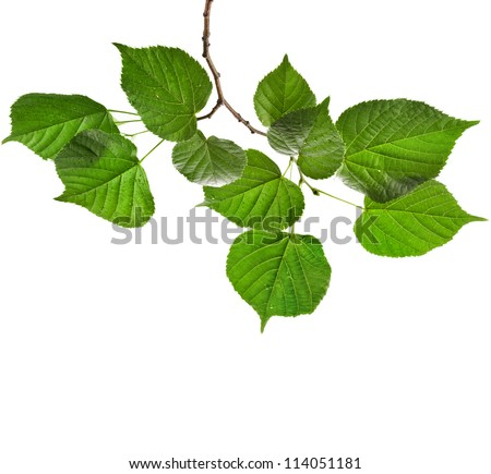 Branch of  tree linden green leaves isolated on white background