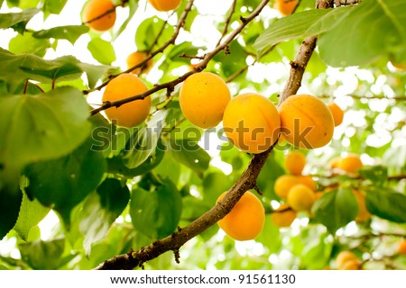 Branch of tree with apricot fruit - stock photo
