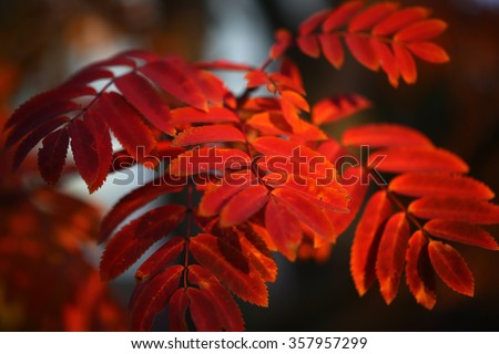 Branch of tree with beautiful bright colorful vivid red scarlet leaves autumn october season seasonal landscape closeup on natural background outdoor, horizontal picture - stock photo