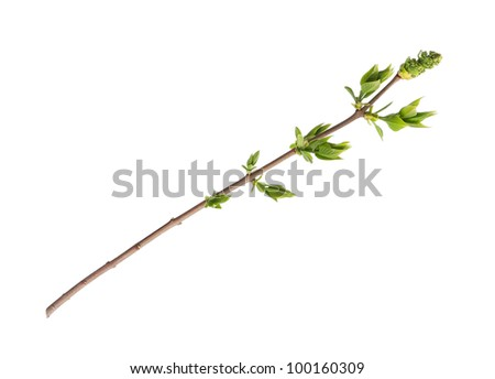 Branch of tree with buds isolated on white background - stock photo