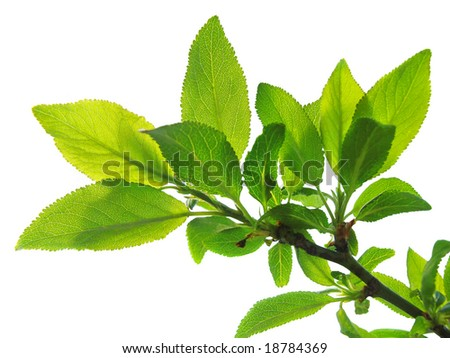 branch of tree with lush green foliage - stock photo