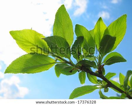 branch of tree with lush green foliage closeup - stock photo