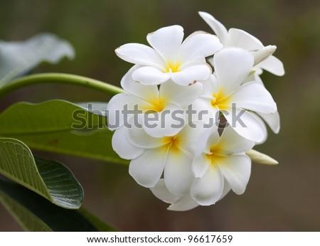 Branch of tropical flowers frangipani (plumeria) - stock photo