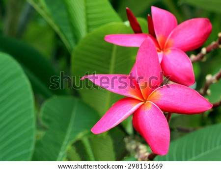 Branch of tropical flowers frangipani (plumeria) of thailand - stock photo