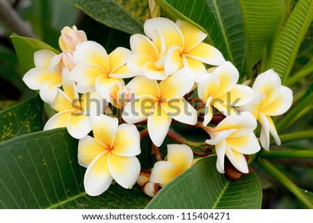 Branch of tropical flowers frangipani (plumeria), Thailand. - stock photo