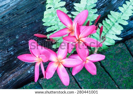 Branch of tropical pink flowers frangipani (plumeria) decoration with Fern leaf on a moss covered brown brick - stock photo
