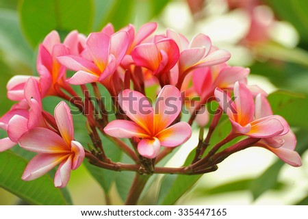 Branch of tropical pink flowers frangipani (plumeria) on bright green leaves background, Bali, Indonesia - stock photo