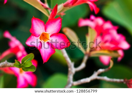 Branch of tropical pink flowers frangipani (plumeria) on dark green leaves background .Shallow DOF - stock photo