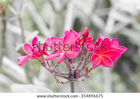 Branch of tropical red flowers frangipani - stock photo