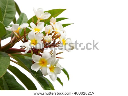 Branch of tropical white flowers (Plumeria) isolated on white background. - stock photo