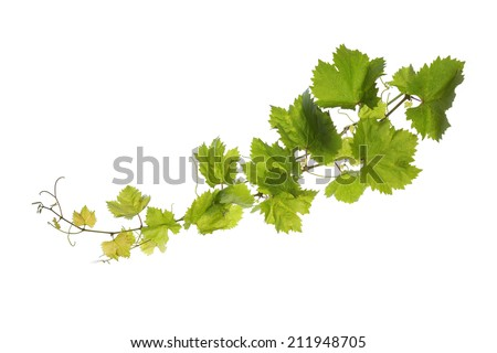 Branch of vine leaves isolated on white background  - stock photo