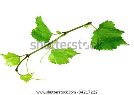 branch of vine on a white background