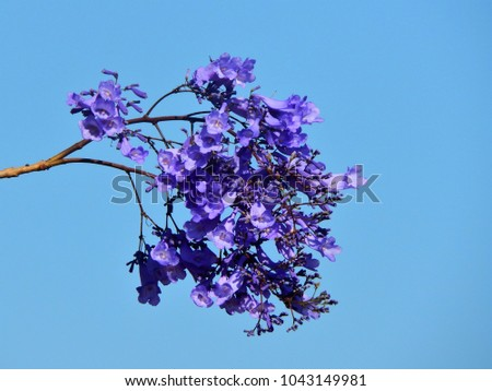 Branch violet flowers spring ranchi jharkhand stock photo edit now branch of violet flowers of spring at ranchi jharkhand india mightylinksfo